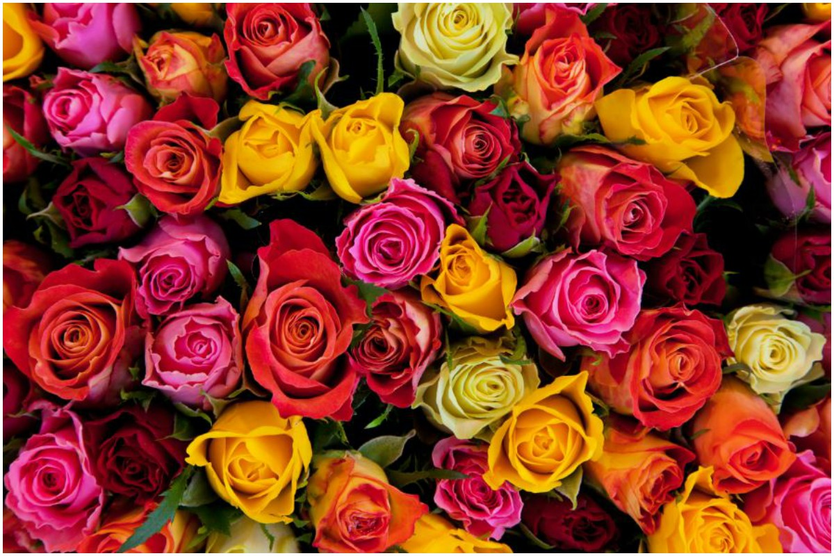 Roses are a beautiful expression of love on Valentine's Day