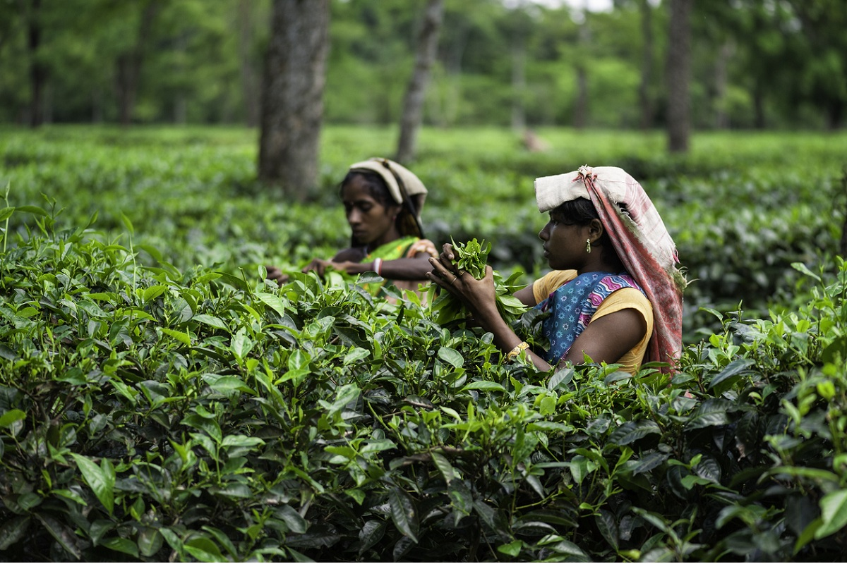 tea workers, Siliguri, CCPA, Tea Board