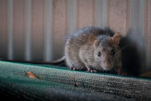 China man dies from hantavirus; all you need to know about the virus, its spread