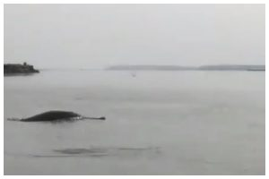 Watch | Ganges River Dolphins spotted in Meerut; video goes viral