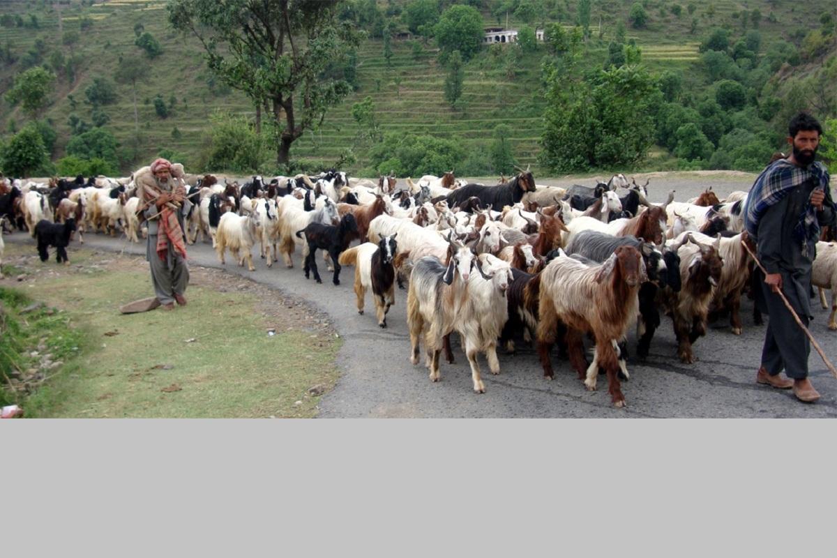 Coronavirus, Gujjars, Jammu, Jammu and Kashmir, Ladakh, Himachal Pradesh, lockdown, Kashmir