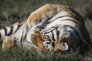 New York's Bronx Zoo tigress Nadia tests positive for Coronavirus; developed dry coughs