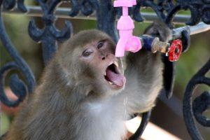 Covid-19 'lockdown': Monkeys desert Shimla, back to jungle for food !