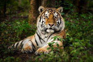 Tiger injures five in a series of attacks in Uttar Pradesh district