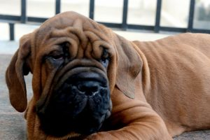Why dogs will always rescue their distressed owners