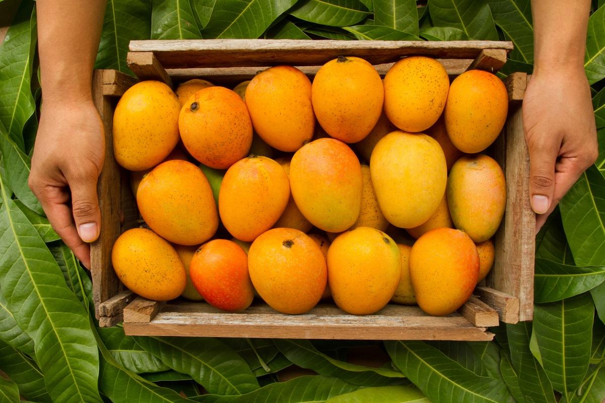 Murshidabad mangoes, India Post, Kolkata, Bengal, Murshidabad, West Bengal