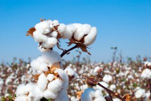 Crop Diversification: Punjab set to bring 12.5 lakh acres under cotton cultivation