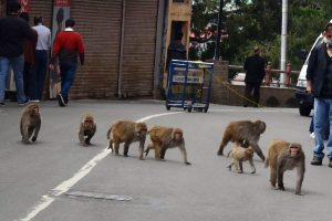 Shimla monkeys end their 'lockdownsojourn', back with a bang