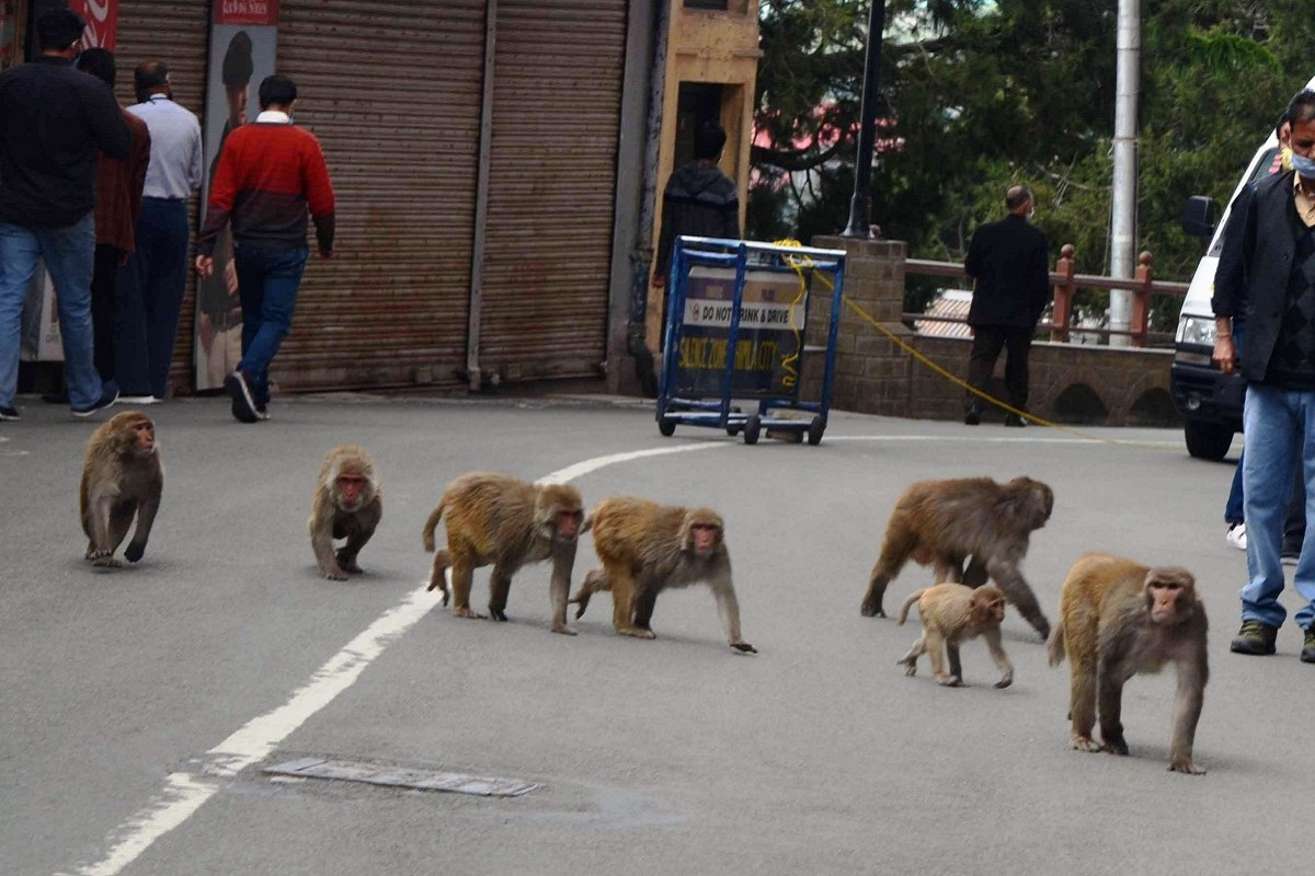 Shimla, monkeys, COVID-19, lockdown, Himachal Pradesh, Himachal