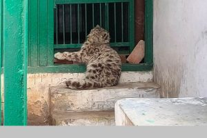 'Abandoned' snow leopard cub captured in Spiti in Himachal