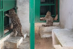 'Quarantine' over, snow leopard cub may find mother's lap again
