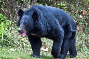 Poacher arrested in Meghalaya after photo of pregnant Asiatic black bear's killing goes viral