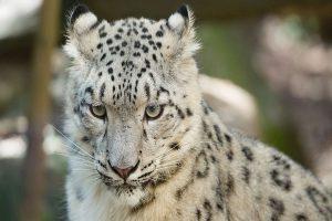 Snow leopard caught on mobile cameras in Gangotri Park