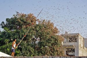 Delhi govt issues advisory on preventive measures to control probable locust attack