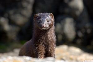 Mink are latest animals to contract COVID-19; tested positive at 2 fur farms in Netherlands