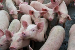 First case of African Swine Flu detected in Assam, 2500 pigs died