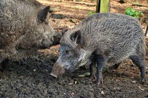 Assam 'prepares' for culling as African Swine Fever kills nearly 15,000 pigs: Reports