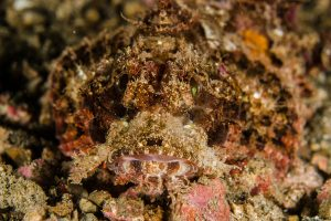 Rare bandtail scorpionfish found off Sethukarai in Gulf of Mannar