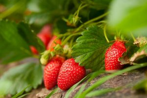 HP govt comes to rescue of strawberry farmers