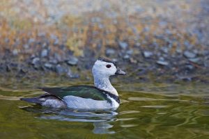 Several cotton teals dead due to pesticide poisoning