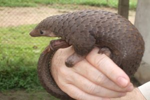 China upgrades protection to Pangolins to highest level after COVID-19 pandemic