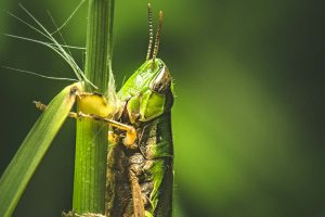 Grasshopper swarms threaten crops in south Bengal