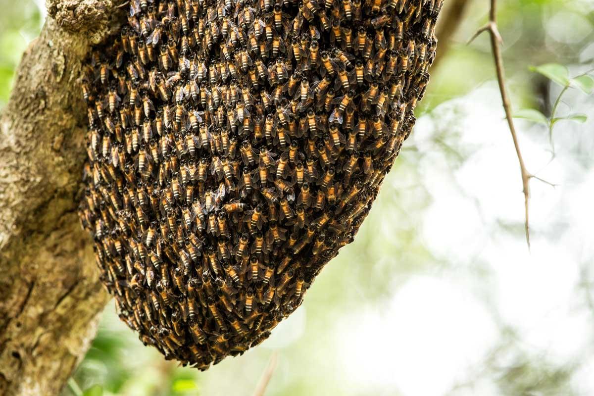 Sunderban, Royal Bengal tigers, wildlife, Honey