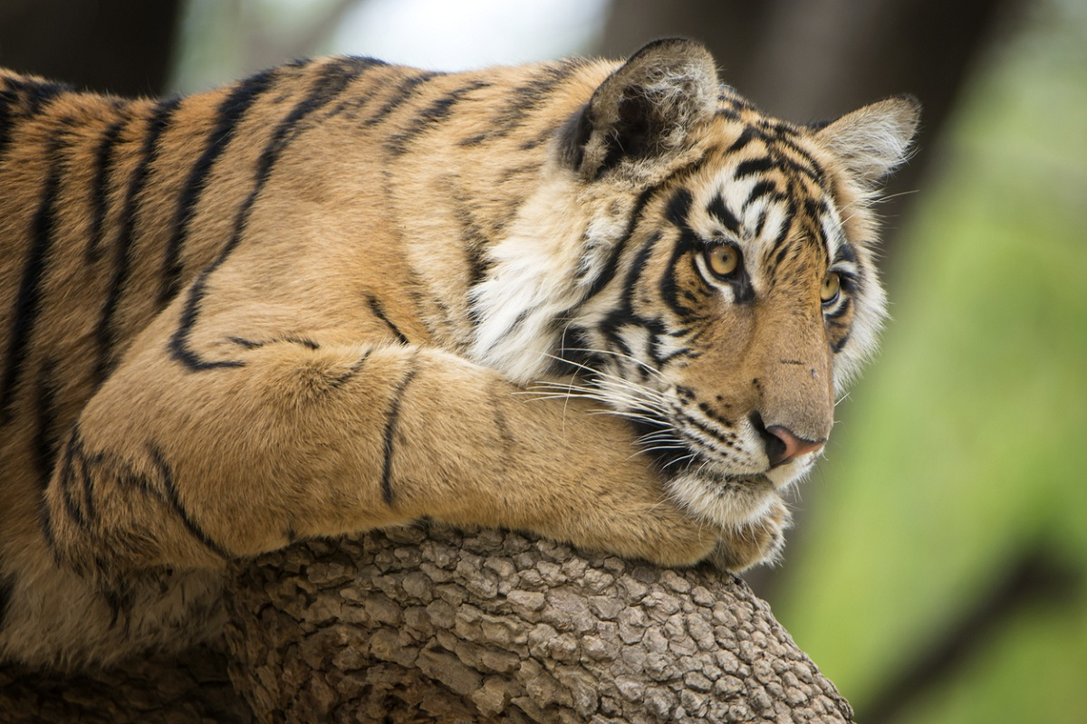 NTCA, tiger, National Tiger Conservation Authority, Project Tiger