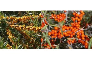 Seabuckthorn development can be of strategic importance on border: Expert