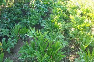 Asafoetida farming to spread wings in lower Himachal region