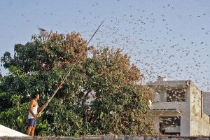 Swarms of locusts reach Delhi outskirts after Gurugram, govt issues advisory; pilots told to stay alert