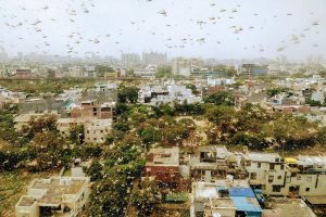 Swarms of locusts seen in several parts of Gurugram; Delhi govt calls emergency meeting