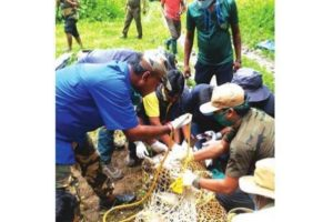 Leopard with tracking collar released in Alipurduar's Buxa Tiger Reserve