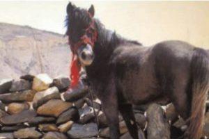 Endangered Chamurthi horses thrive in tribal Lahaul Spiti