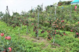 Natural farming: A small but good beginning by apple growers in HP