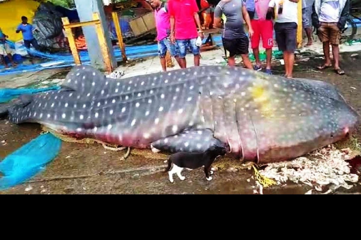 whale shark, Arabian Sea, Colaba