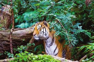 'Save the Tiger' campaign can only be achieved by collective efforts