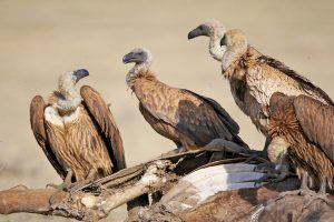 Vulture-killing drug still being sold in India: Researchers