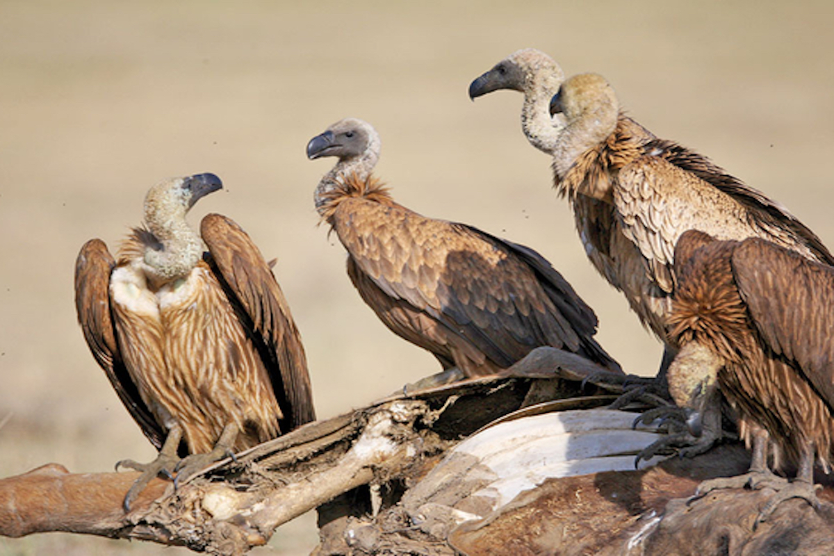 Vulture-killing drug, India, environment, vultures, toxic drugs, research
