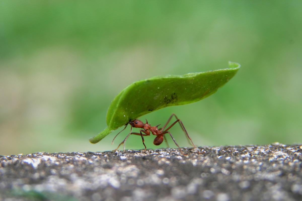 Wings, flightless ant, Hymenoptera, Greek hymen