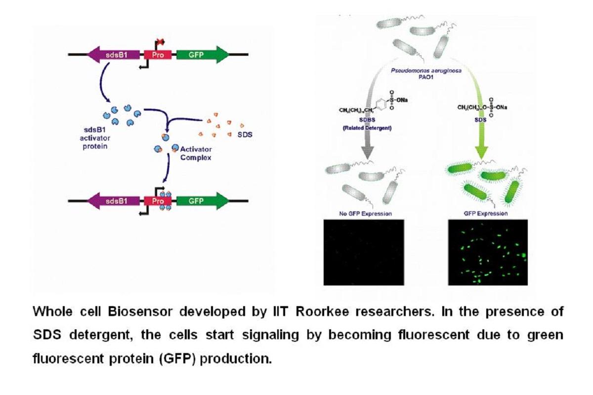 IIT Roorkee, bacterial biosensor, environmental detergent pollutant, IIT, Roorkee