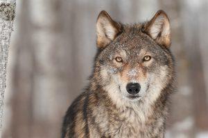 Ramnabagan sanctuary to get hyenas & wolves