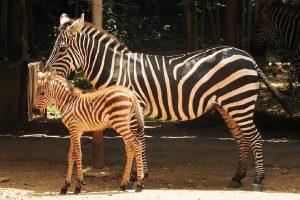 Female zebra foal becomes Mysuru zoo's newest resident