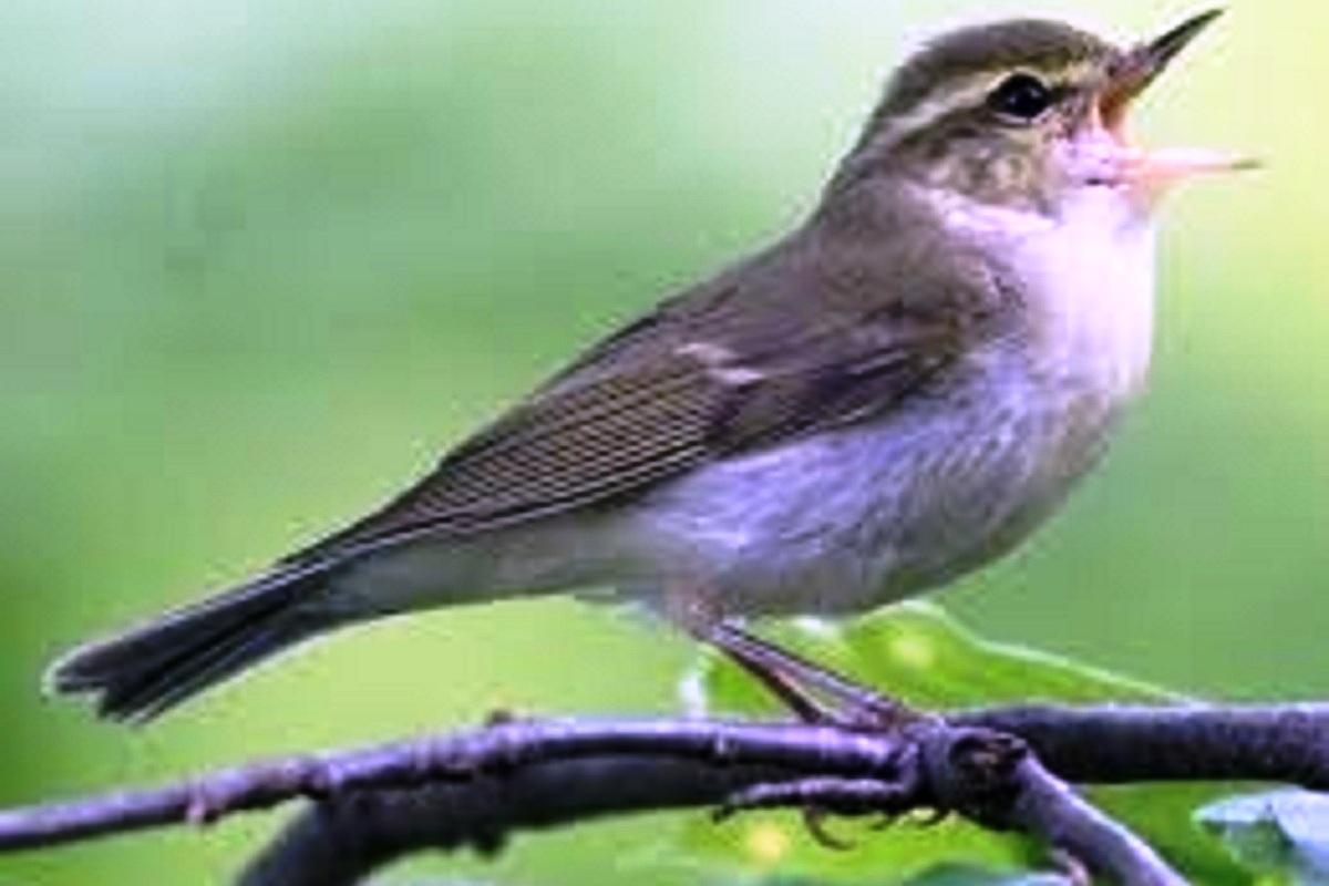 Greenish Warbler, migratory bird, Uttar Pradesh, Gorakhpur, Rapti Sagar, Europe, North India, South India