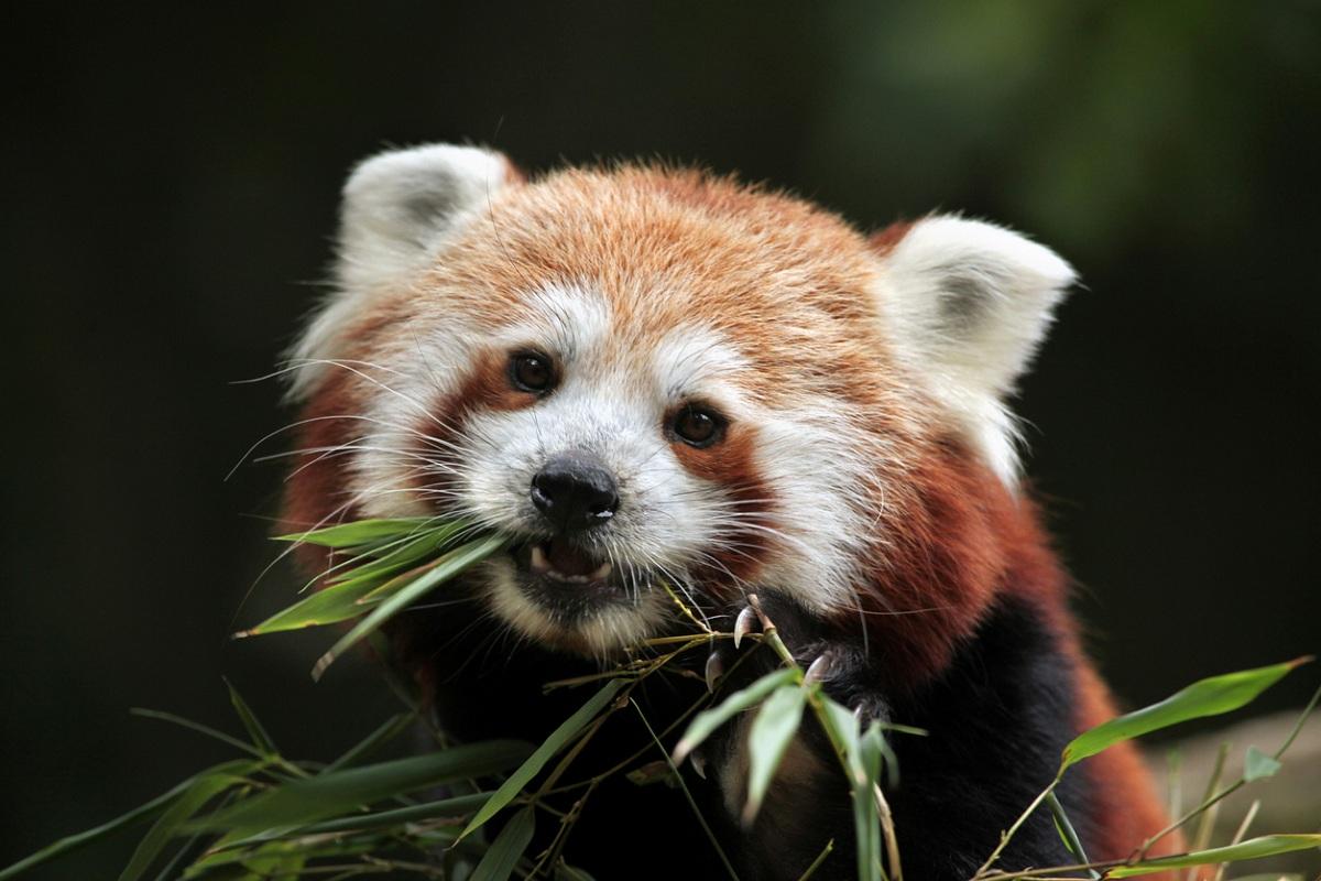 Darjeeling zoo, red pandas, Singallila Park, Darjeeling
