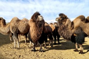 Wooly coat in winters has changed appearance of Ladakh's double humped camel