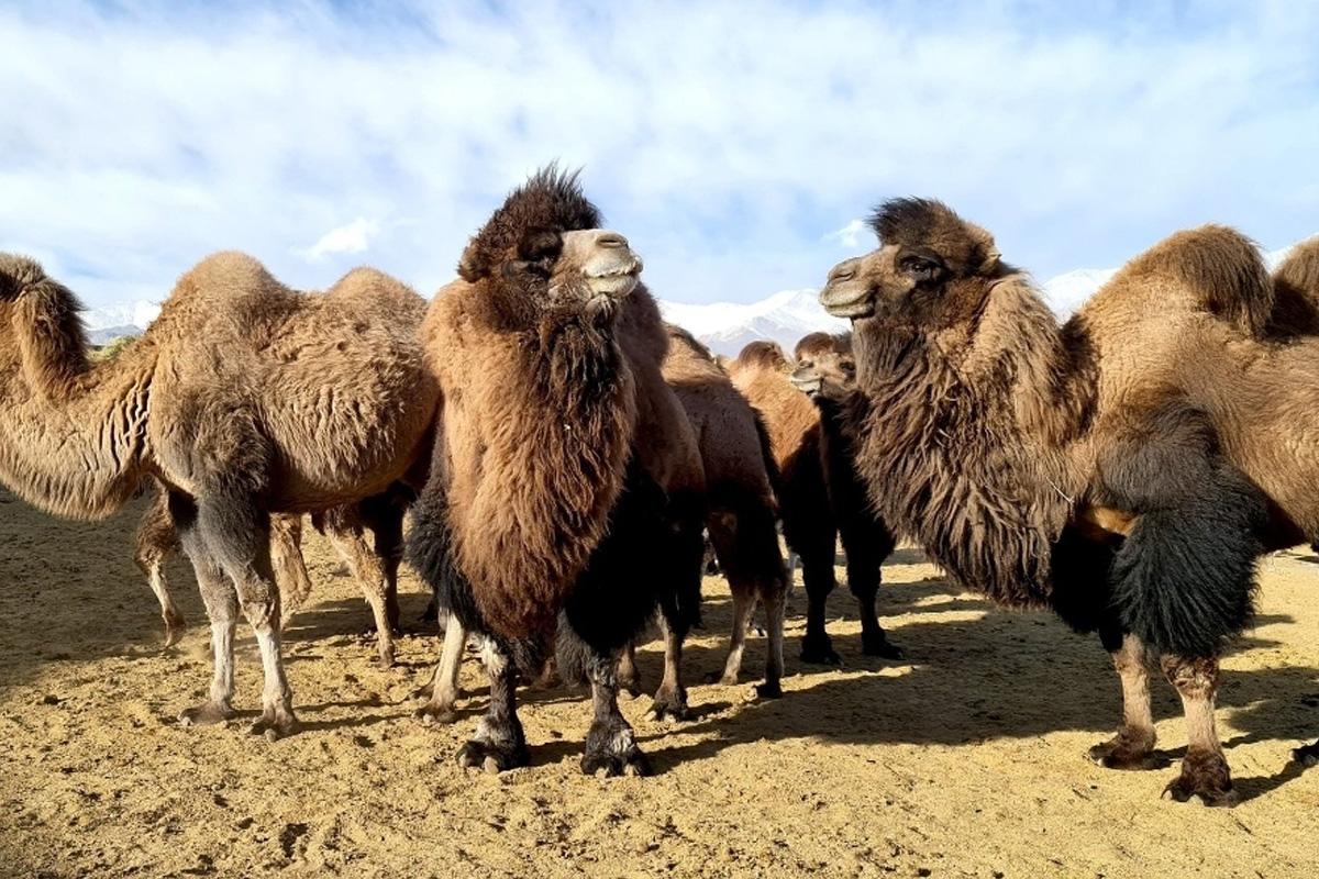 Wooly coat, winters, Ladakh, humped camel