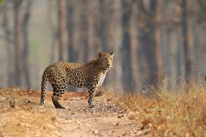 Leopard count in N Bengal in offing