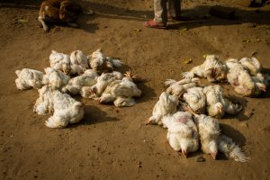 Don't panic, avoid undercooked meat & eggs: Experts on bird flu rise