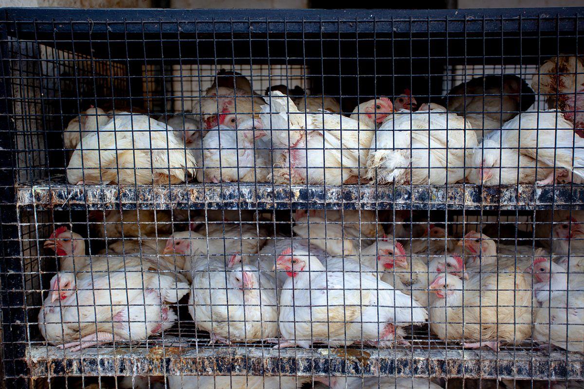Avian Influenza, bird flu, Delhi, Maharashtra, Parliamentary Standing Committee, Parliamentary Standing Committee on Agriculture